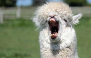 alpaca yawning