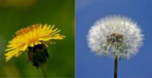 dandelion transformation