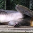 facepalm monkey
