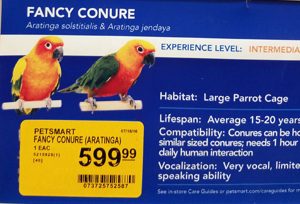 fancy conure bird for sale