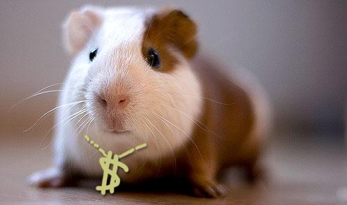 guinea pig pimp
