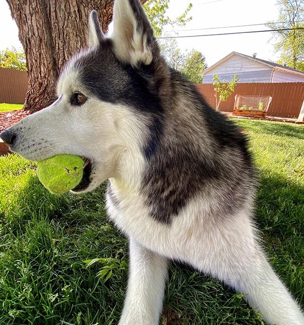 cão husky
