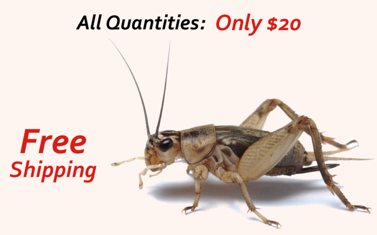 online crickets for sale