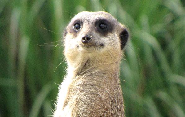 overheard meerkat