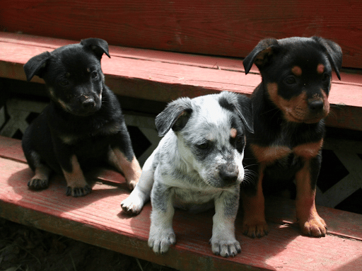 puppies on a step