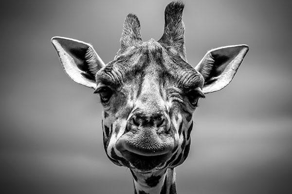 say what giraffe