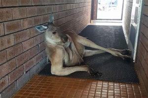 sexy kangaroo pose