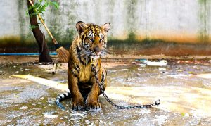 tiger chained up